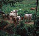 Siara mleka krowiego – jak może wpłynąć na organizm ludzki?